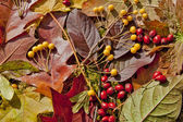 Autumn berries and leaves background — Stock Photo