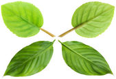 Green leaves pro and contra — Stock Photo