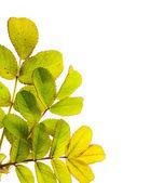 Dzika róża liście makro pocztówka — Zdjęcie stockowe