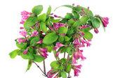 Bush of Pink Weigela isolated — Stock Photo