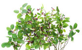 "Bush of ""Rhamnus frangula"" isolated — Stock Photo"