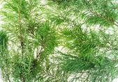 針葉樹の木の枝 — ストック写真