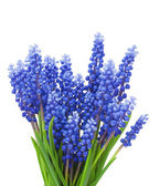 Federn (Muscari) Blumen Hintergrund — Stockfoto