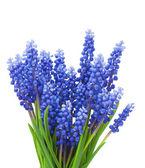 Springs flowers ( Muscari) background — Stock Photo