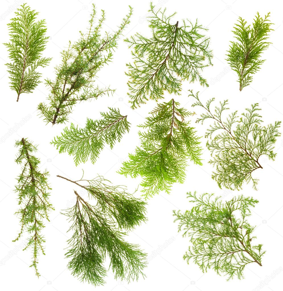 Various isolated on white coniferous evergreen plants branches set — Foto Stock #4275147