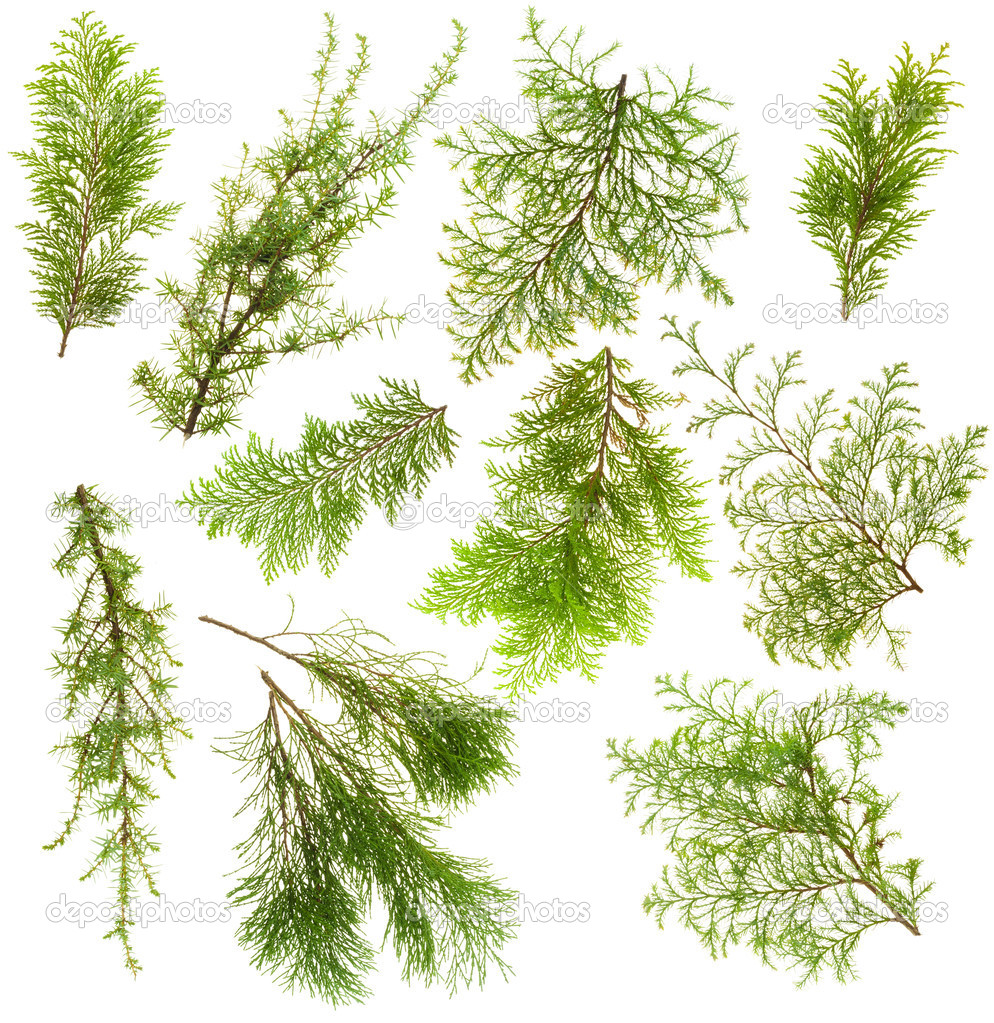 Various isolated on white coniferous evergreen plants branches set — Stok fotoğraf #4275147