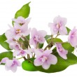 Gentle pink violets flowers — Stock Photo