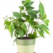 "Sapling a favourite indoor plant ""Ficus"" — Stock Photo #4907142"