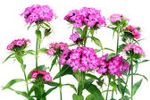 Claveles rosados aislados — Foto de Stock