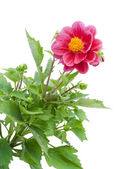 Dwarfish dahlia background — Stock Photo