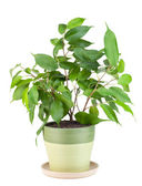 "Sapling a favourite indoor plant ""Ficus"" — Stock Photo"