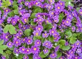 Springs flowers Primroses background — Stockfoto