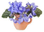 Violeta azul suave en una jarra pequeña — Foto de Stock