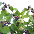 "Branches and berries ""Rhamnus frangula"" — Stock Photo"