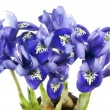 Spring  blue irises grow from bulbs macro — Stock Photo