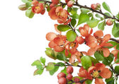 Blossoming Japanese quince (Chaenomeles) — Stock Photo