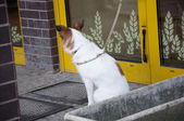 Dog attached to door — Stock Photo