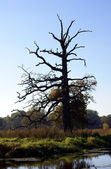 Oak by the river — Stockfoto