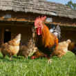 Flock hen,chanticleer — Stock Photo