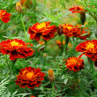 Beautiful marigolds — Stock Photo