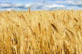 Letní pšeničné pole — Stock fotografie