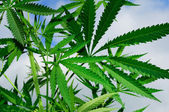 Leaves of cannabis — Stock Photo