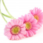 Three pink gerberas — Stock Photo #4939192