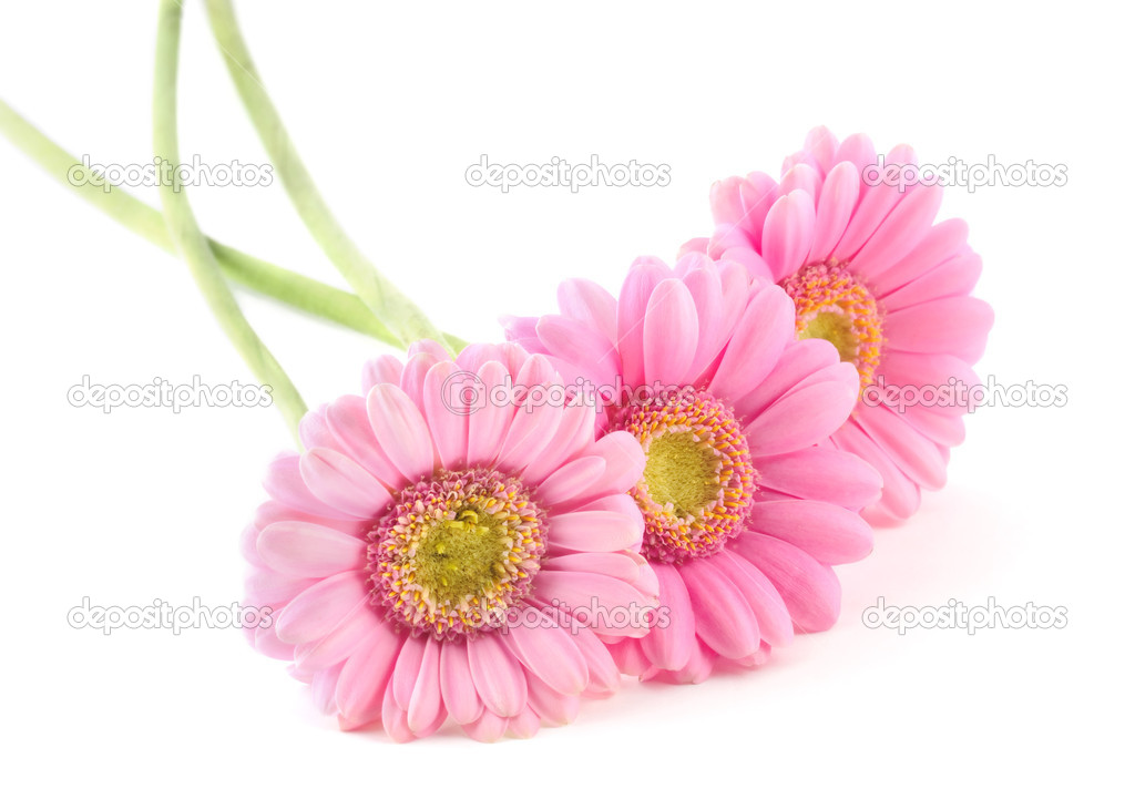 Three pink gerbera flowers isolated on white background  Stock Photo #4939192