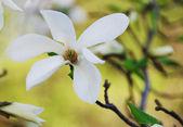 Beautiful magnolia flower — Stock Photo