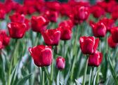 Tulpen — Stok fotoğraf