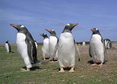 Colony gentoo penguins — Stockfoto