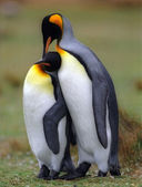 King penguins — Foto de Stock