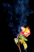 Rose withered in smoke from cigarettes — Stock Photo