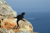 Lizard on the rock — 图库照片