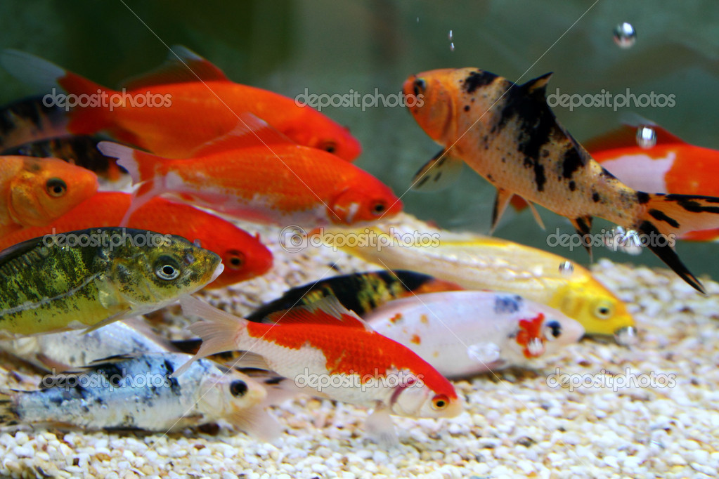 Big colorful koi carp stock photo yuyang 4484747 for Carpe koi aquarium 300 litres