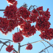 Stock Photo: Winter mountain ash