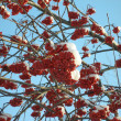 Winter mountain ash — Stock Photo