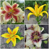 Flowers of a lily — Stock Photo
