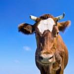 Brown cow portrait — Stock Photo