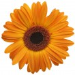 Orange daisy flower — Stock Photo