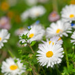 White daisy background - Stock Photo