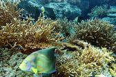 珊瑚集群 — 图库照片