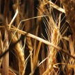 Wheat — Stock Photo #4007956