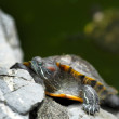 Turtle — Stock Photo #4113740