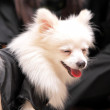 Stock Photo: Dog smile, pomeranian