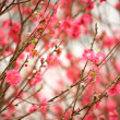 Cherry blossoms in full bloom — Stockfoto