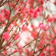 Cherry blossoms in full bloom — Stock Photo #4264971