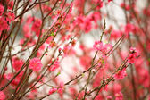 Cherry blossoms in full bloom — Stock Photo