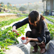 Girl pick strawberry for fun in farm — Stock Photo