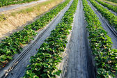 Vegetable field — Stock Photo